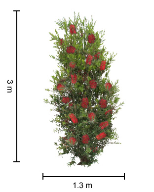 SLIM™ Callistemon dimensions