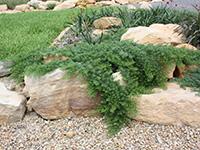YAREENA™ Myoporum parvifolium 'PARV01' PBR