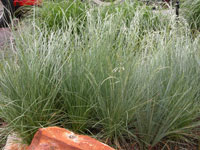 Ornamental native grass workwithnaturefo