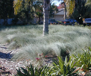 KINGSDALE™ Poa has blue arching foliage