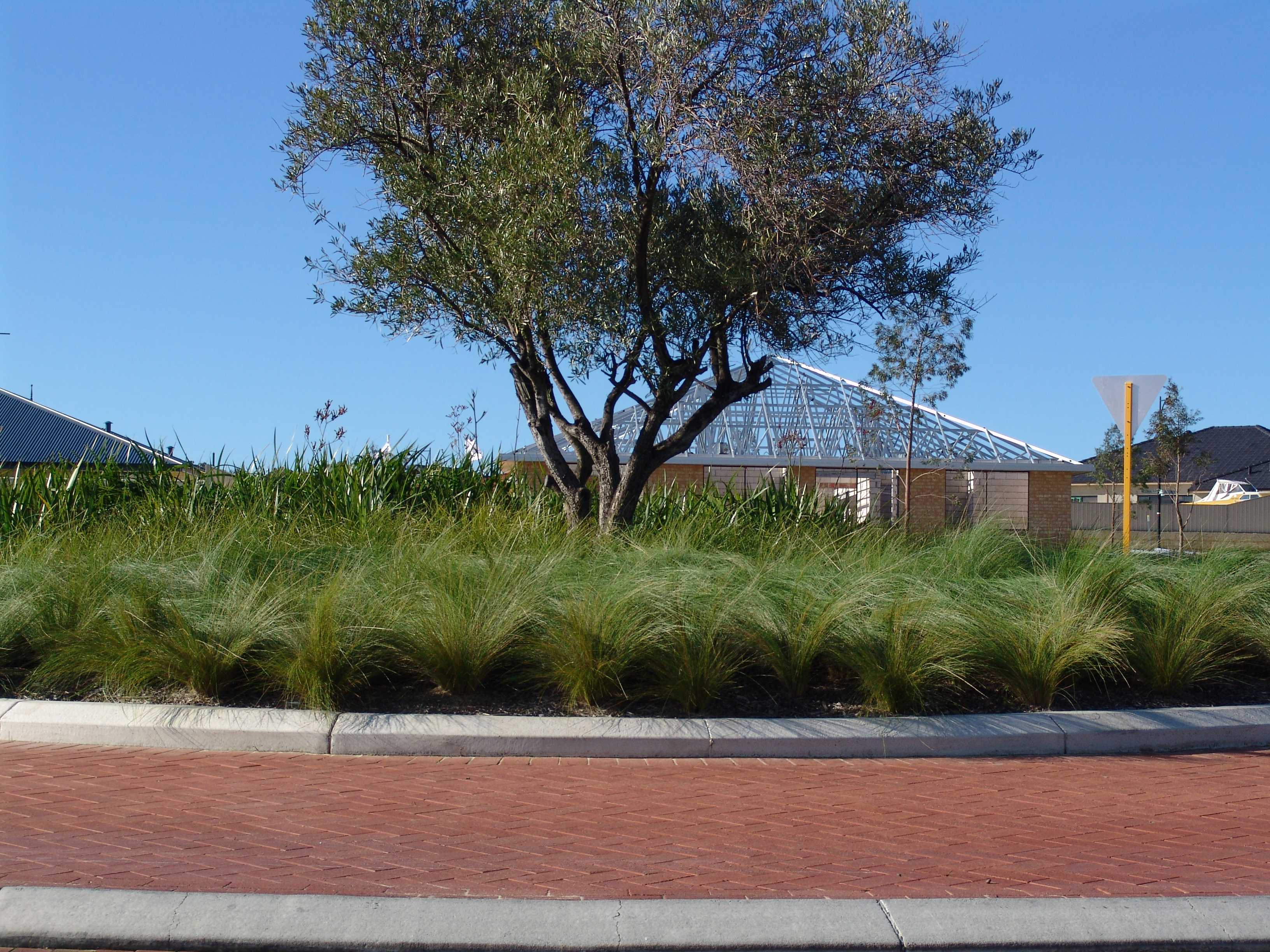 KINGSDALE™Poa is a tussock grass with arching blue foliage
