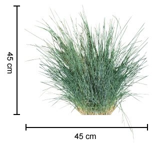 Kingsdale poa is a tussock grass with contrasting arching blue kingsdale poa dimensions workwithnaturefo