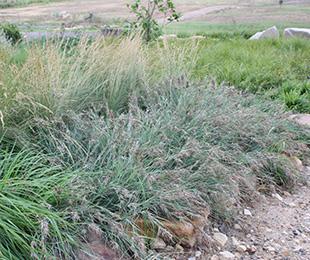 MINGO Kangaroo grass