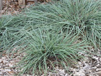 Mingo Themeda australis 'Mingo' PBR Ornamental Native Grass
