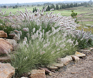 PENNSTRIPE™ Pennisetum is a variegated native grass with feathery plumes