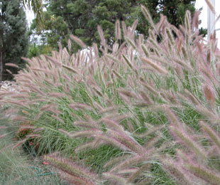 Purple lea has showy purple flowers ornamental native grass purple lea pennisetum workwithnaturefo