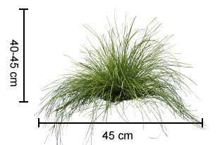 EVERGREEN BABY™ Lomandra dimensions