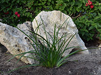 Gladiator™ Lepidosperma gladiatum 'LEP01' PBR