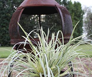 GREAT WHITE™ Lomandra longifolia 'MURU' PBR