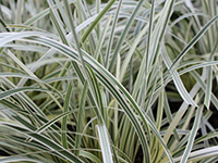 Great White™ Lomandra longifolia' PBR