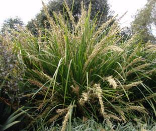 Lomandra longifolia 'Katrinus Deluxe' PBR