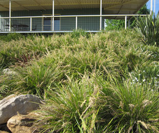KATRINUS DELUXE Lomandra is ideal for mass planting