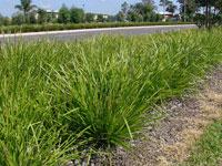 KATRINUS Lomandra longfolia 'Katrinus' PBR