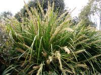 KATRINUS DELUXE™ Lomandra longfolia 'Katrinus Deluxe' PBR