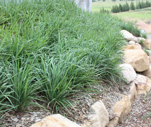 KING ALFRED® Dianella the best erosion control plant