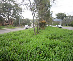 LITTLE JESS™ Dianella is great for roadsides