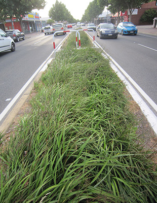 LUCIA™ Dianella is ideal for mass planting on roadsides, median strips and borders