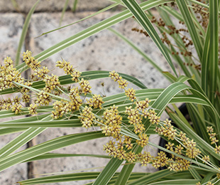 LUCKY STRIPE™ Lomandra great for mass planting in commercial or landscape gardens