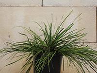 MONTY™ Lomandra montana 'LLM500' PBR