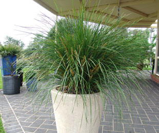 NYALLA® Lomandra is the toughest for coastal areas