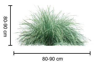 NYALLA® Lomandra dimensions