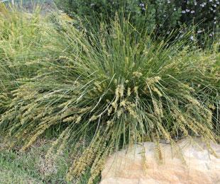 SHARA™ Lomandra fluvialtilis 'ABU7' PBR