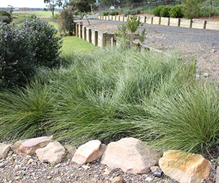 SHARA™ Lomandra is very Phytophthora resistant