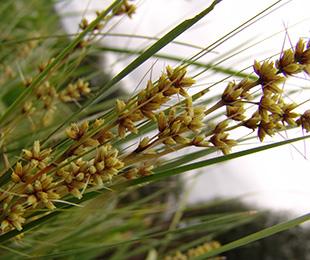 SHARA™ Lomandra has masses of yellow flowers that sit above the foliage