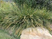 SHARA™ Lomandra fluviatilis'ABU7' PBR
