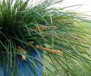 TANIKA® Lomandra longfolia 'LM300' PBR