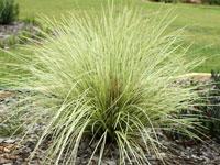 VARIEGATED TANIKA™ Lomandra longfolia 'NPW3' PBR