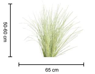 VARIEGATED TANIKA™ Lomandra dimensions