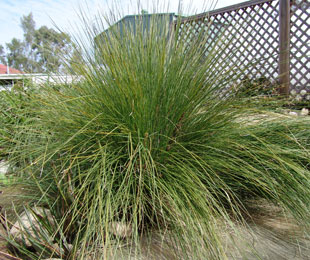 WINGARRA® Lomandra confertifolia 'SIR5' PBR