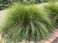 WINGARRA® Lomandra contertifolia 'SIR 5' PBR
