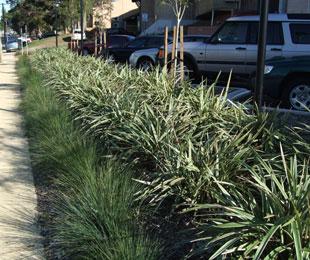 WYEENA(R) Dianella is has striking clean variegated foliage