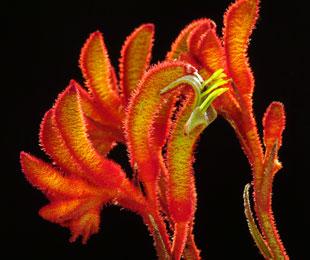 AMBER VELVET Anigozanthos hybrid 'Amber Velvet' PBR