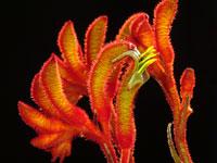 AMBER VELVET Anigozanthos hybrid 'Amber Velvet' Velvet Kangaroo Paws