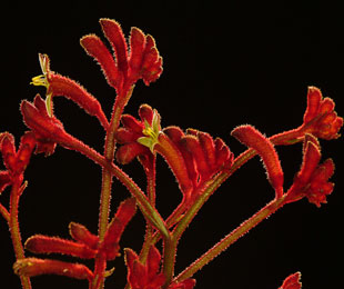 RUBY VELVET™ is an Anigozanthos with stunning red flowers