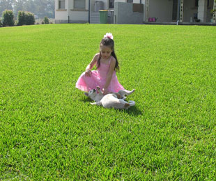 Palmetto Turf Soft Leaf Buffalo Grass, Buffalo Grass, Buffalo Turf, Buffalo Lawn
