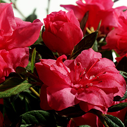 autumn-ruby