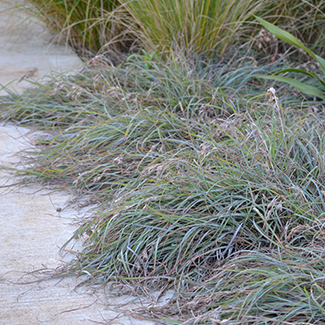 Aussie ornamental grass gardens mingo workwithnaturefo
