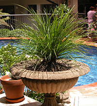 Which are the best plants for Patio Pots - tanika